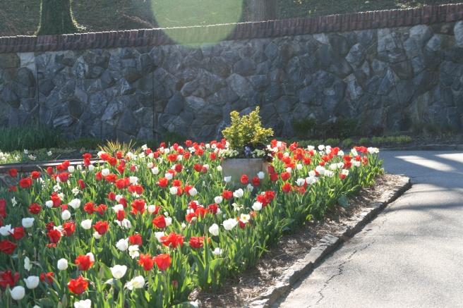 Tulips Closeup Biltmore