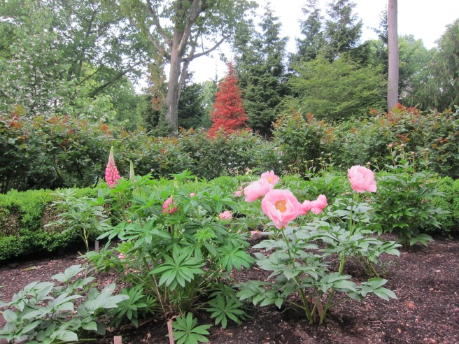 A few salmon colored peonies, and a stray self-seeded lupine