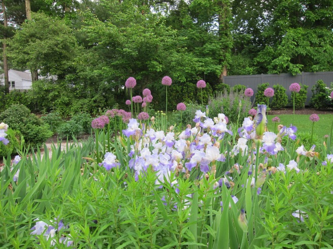 Iris and Alliums