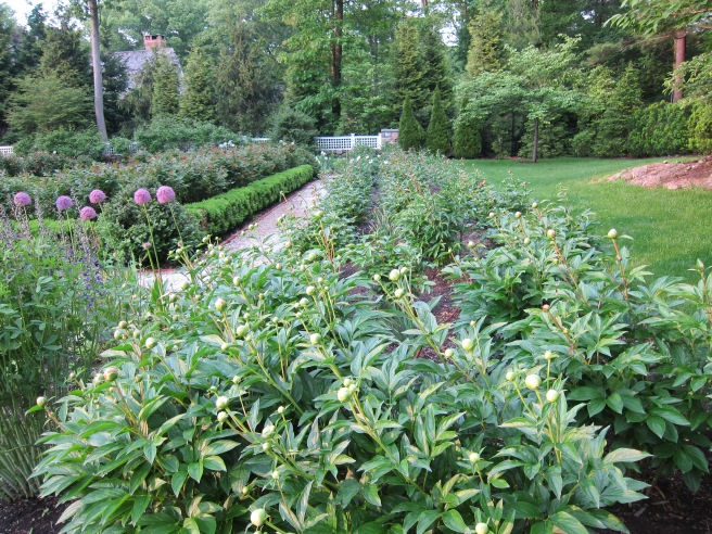 The long Peony Border