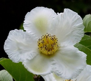 Stewartia Flower/ photo courtesy of PHA