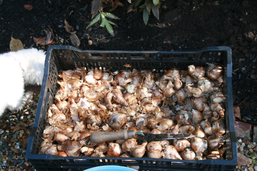 What 275 unplanted daffodil bulbs look like