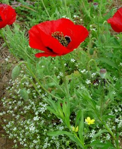 Papaver_rhoeas_plant