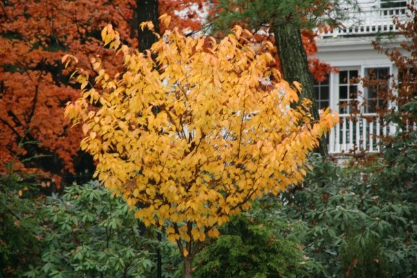 Kwanzan Cherry in October