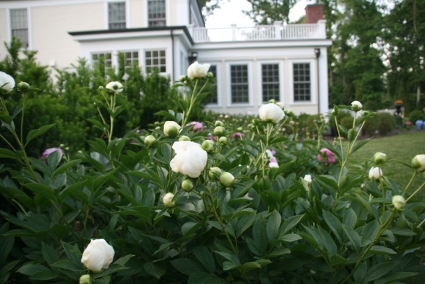 Peonies in early evening light