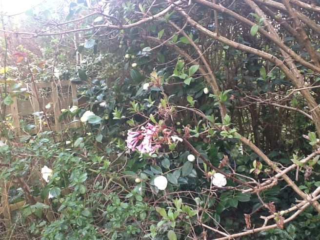 Camellias and daphne blooms