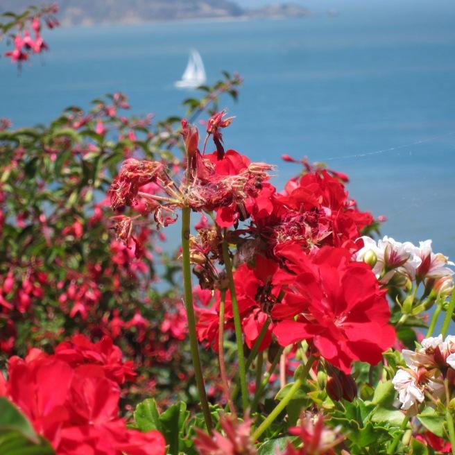 Alcatraz Geraniums