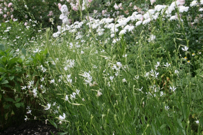 Gaura 'So White'